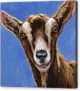 Toggenburg Goat On Blue Canvas Print