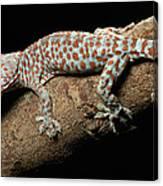 Tokay Gecko In Defensive Display Canvas Print