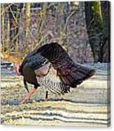 Tom Turkey Walking Canvas Print