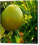 Tomato On The Vine Canvas Print
