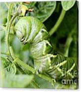 Tomatoe Hornworm Canvas Print