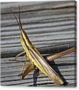 Toothpick Grasshopper Canvas Print