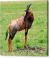 Topi Antelope On The Masai Mara Canvas Print