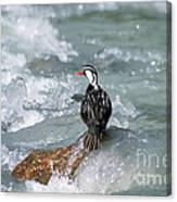 Male Torrent Duck Canvas Print