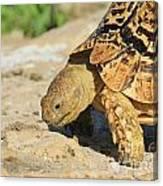 Tortoise Pose Canvas Print