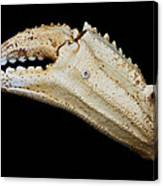 Toucan Crab Claw Canvas Print