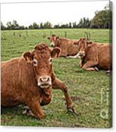 Tough Cows Canvas Print