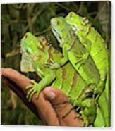 Tourist With Juvenile Green Iguanas Canvas Print