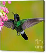 Tourmaline Sunangel Hummingbird Canvas Print