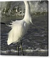 Tousled Egret Canvas Print