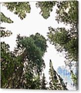 Towering Pine Trees Canvas Print