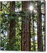 Towering Redwoods Canvas Print