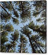 Towering White Pines Canvas Print