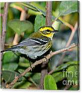 Townsends Warbler In Tree Canvas Print
