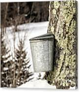 Traditional Sap Bucket On Maple Tree In Vermont Canvas Print