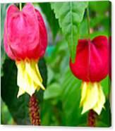 Trailing Abutilon Or Lantern  Flower Canvas Print