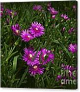 Trailing Ice Plant Canvas Print