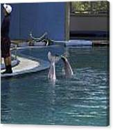 Trainer And 2 Dolphins At The Underwater World In Sentosa Canvas Print