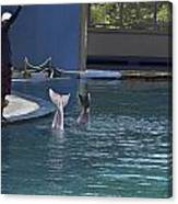Trainer And The Tails Of A Duo Of Dolphins At The Underwater World Canvas Print