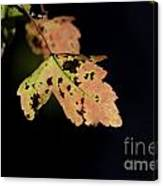 Translucent Maple Leaf Canvas Print
