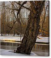 Tree At Collins Creek 2 Canvas Print
