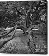 tree at Normanby Park Canvas Print
