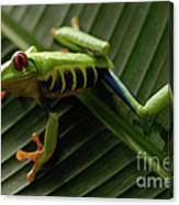 Tree Frog 16 Canvas Print