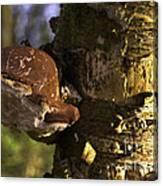 Tree Fungus  Canvas Print