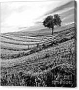 Tree In A Mowed Field. Auvergne. France Canvas Print