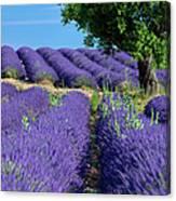 Tree In Lavender Canvas Print