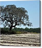 Tree In Plowed Field Canvas Print