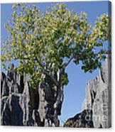 Tree In The Tsingy De Bemaraha Madagascar Canvas Print