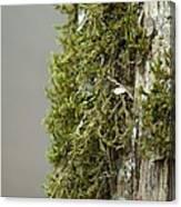 Tree Moss Closeup 2013 Canvas Print