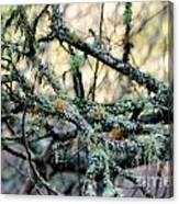 Tree Moss Canvas Print
