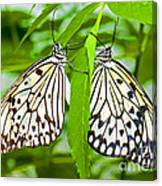 Tree Nymph Butterflies Canvas Print