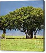 Tree On Savannah. Ngorongoro In Tanzania Canvas Print
