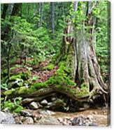 Tree Stump - White Mountains New Hampshire Canvas Print