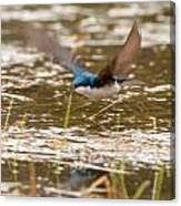 Tree Swallow In Flight Canvas Print