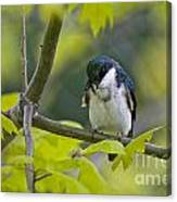 Tree Swallow Pictures 39 Canvas Print