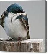 Tree Swallow Pictures 47 Canvas Print