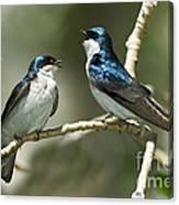 Tree Swallows Singing Canvas Print