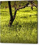 Tree Trunks In A Peach Orchard Canvas Print