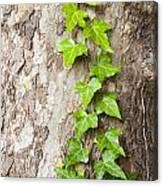 Tree Vine Canvas Print