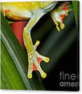 Treefrog Foot Canvas Print