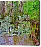 Trees And Knees In Tupelo/cypress Swamp At Mile 122 Of Natchez Trace Parkway-mississippi Canvas Print