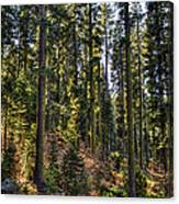 Trees With Moss In The Forest Canvas Print