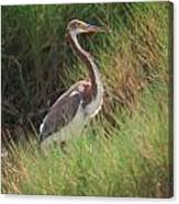 Tri-color Heron Canvas Print