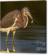 Tricolor Heron With Small Fish Canvas Print