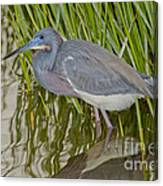 Tri-colored Heron Canvas Print