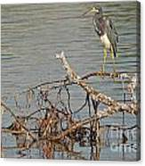 Tri-colored Heron On The Water Canvas Print